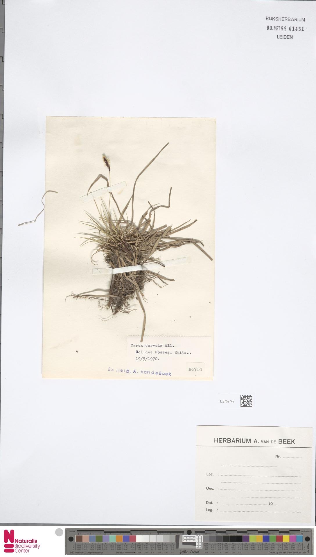 L.3759749 | Carex curvula All.