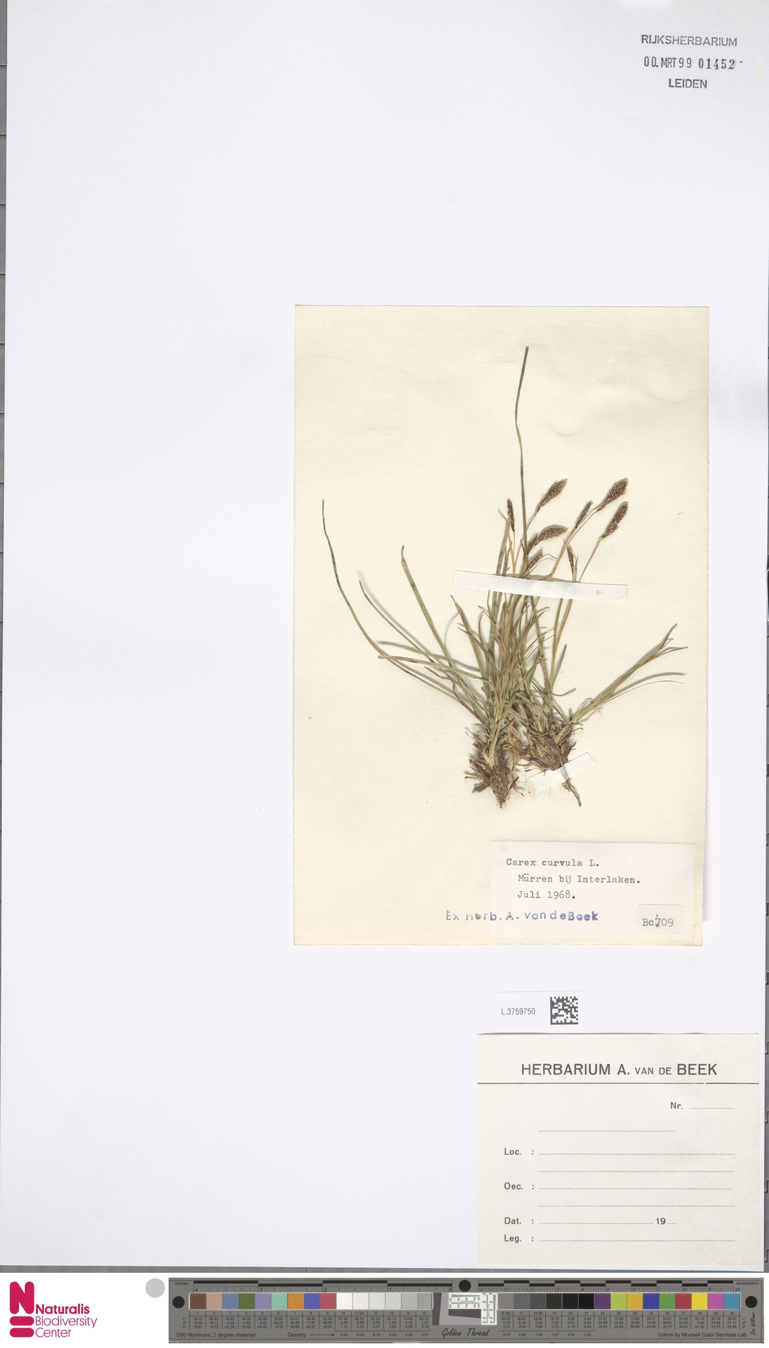 L.3759750 | Carex curvula All.