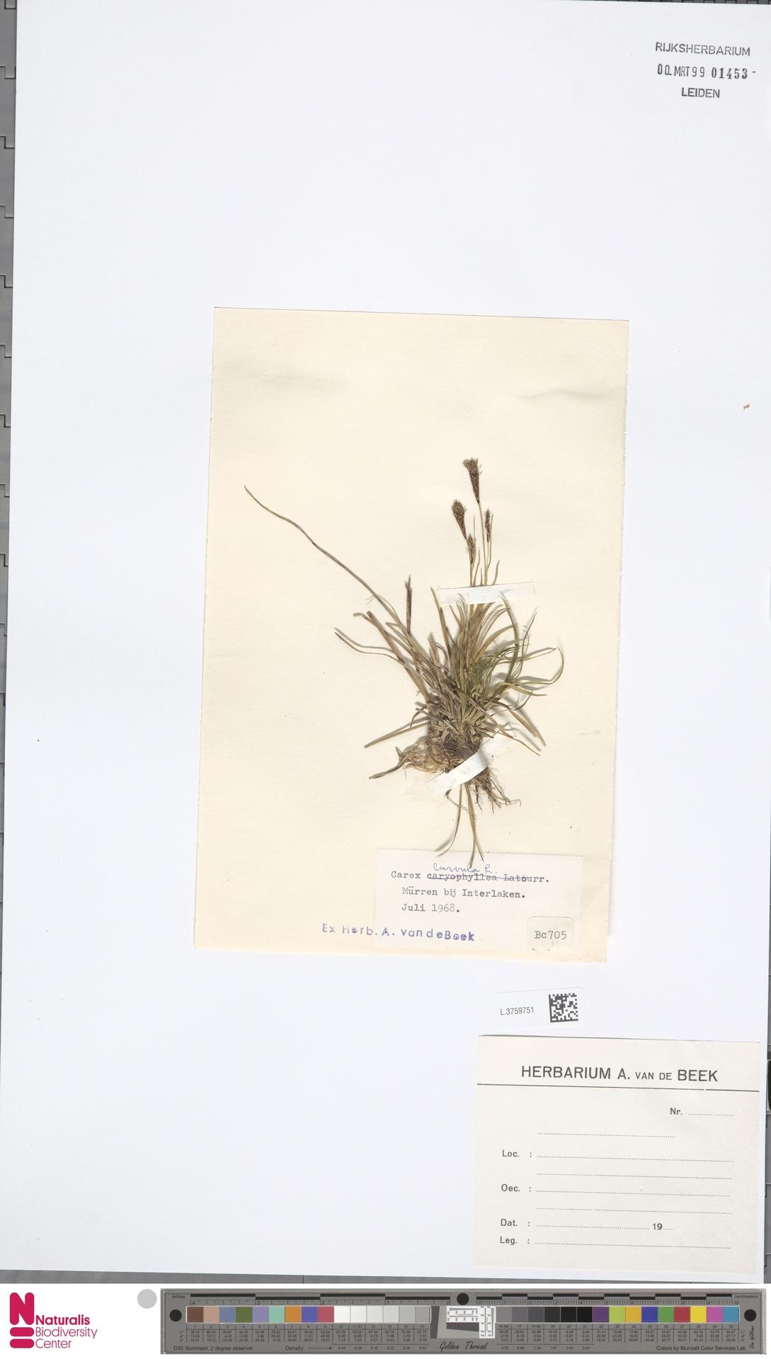 L.3759751 | Carex curvula All.