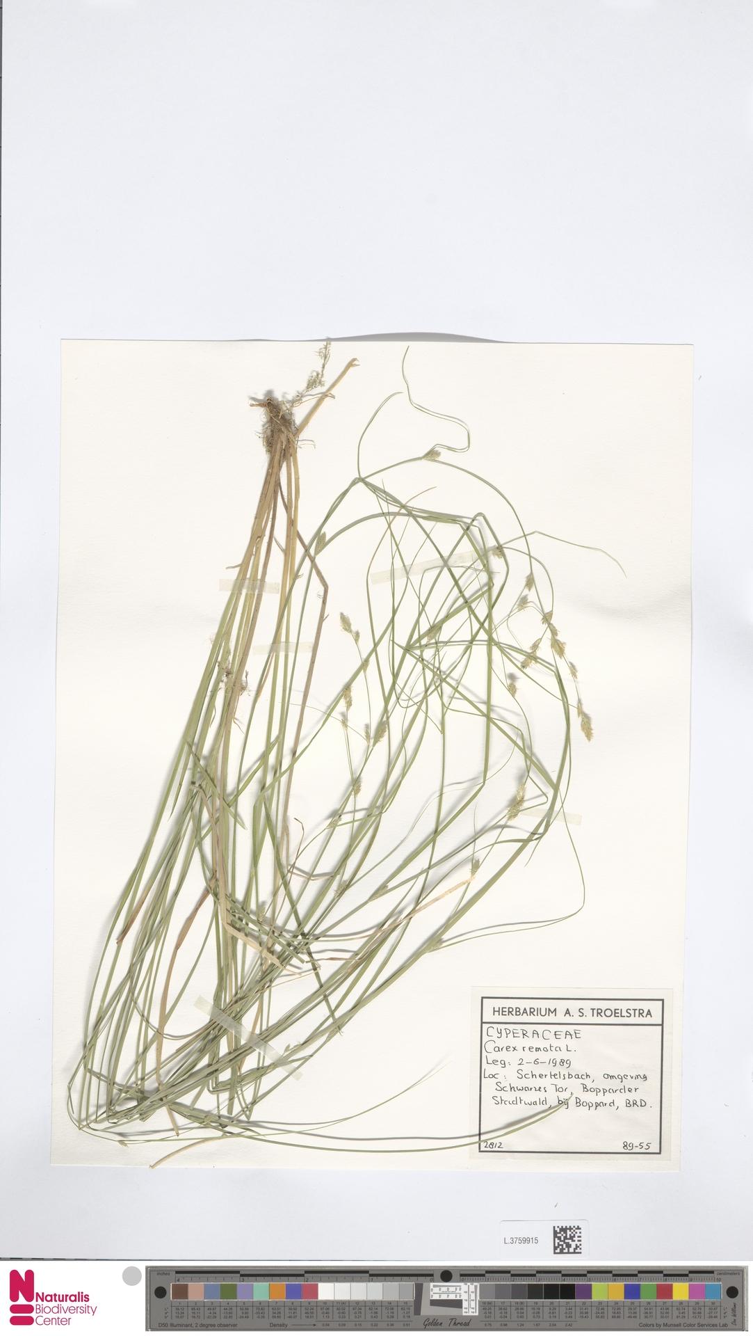 L.3759915 | Carex remota L.