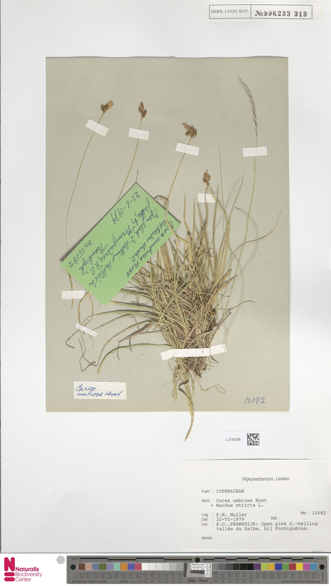 L.3760396 | Carex umbrosa Host