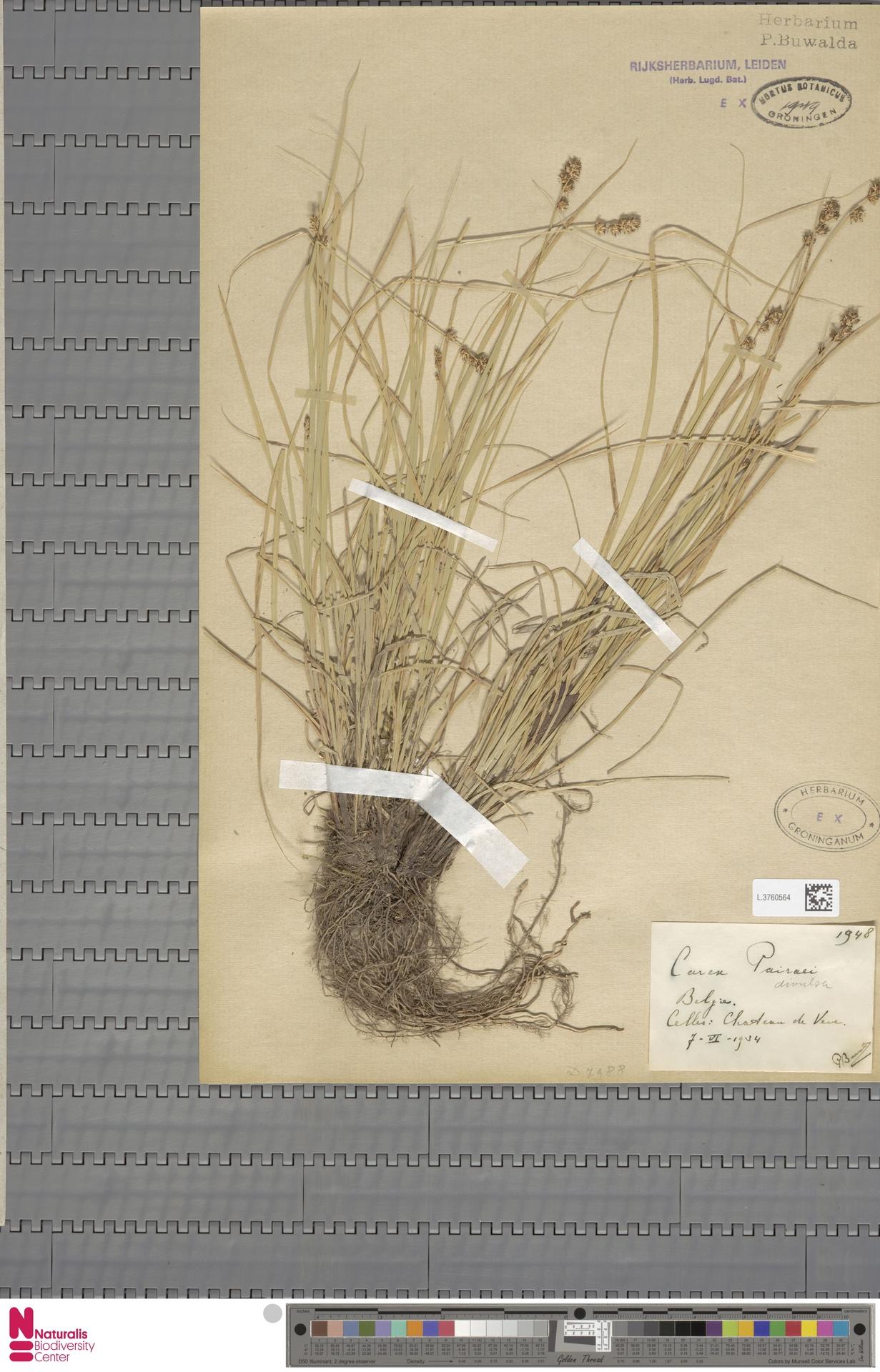 L.3760564 | Carex divulsa Stokes