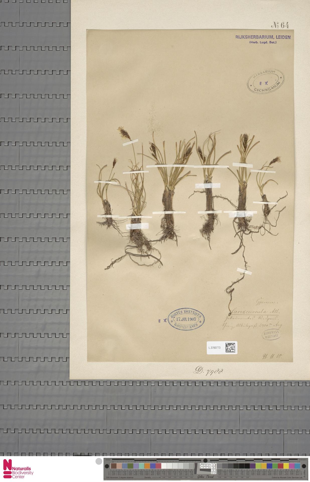 L.3760773 | Carex curvula All.