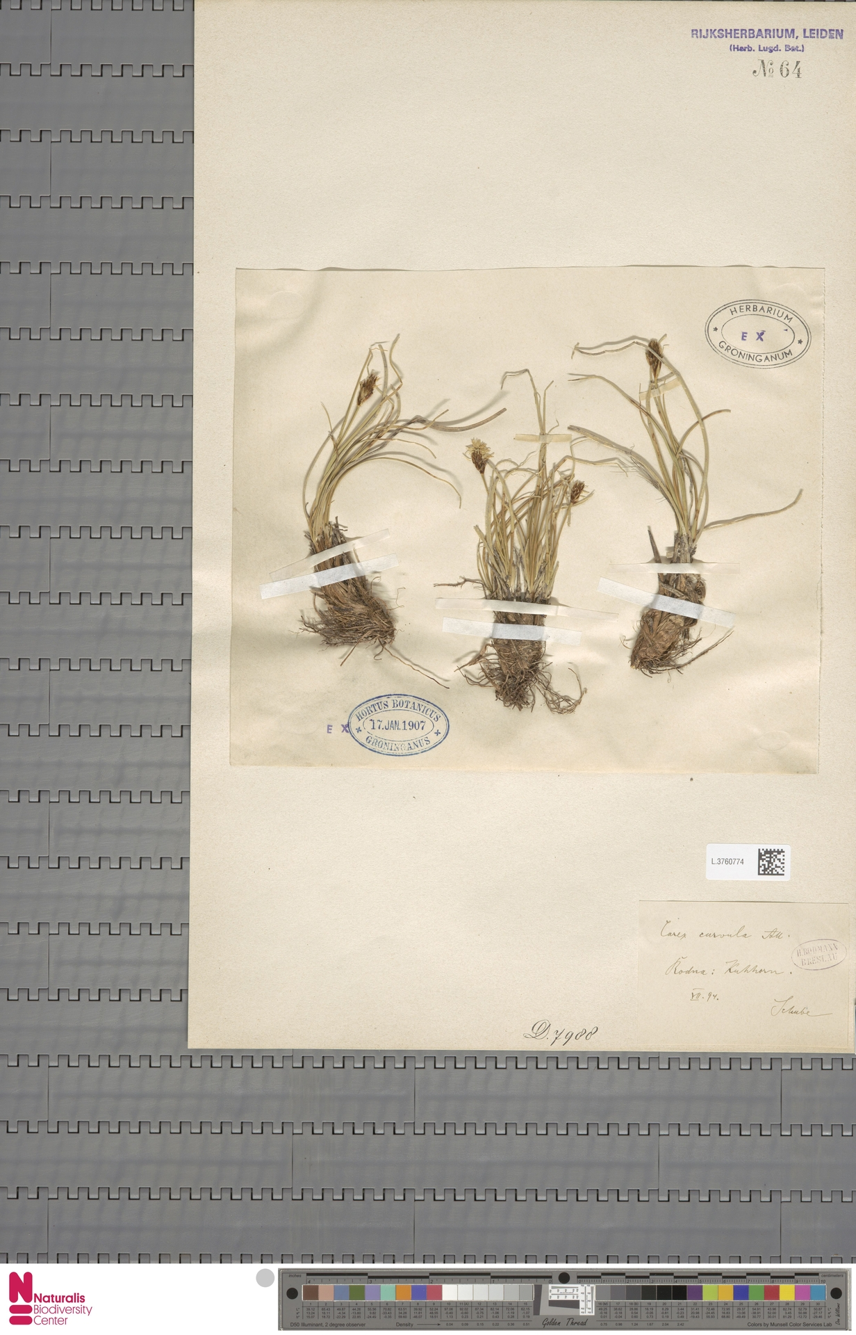 L.3760774 | Carex curvula All.