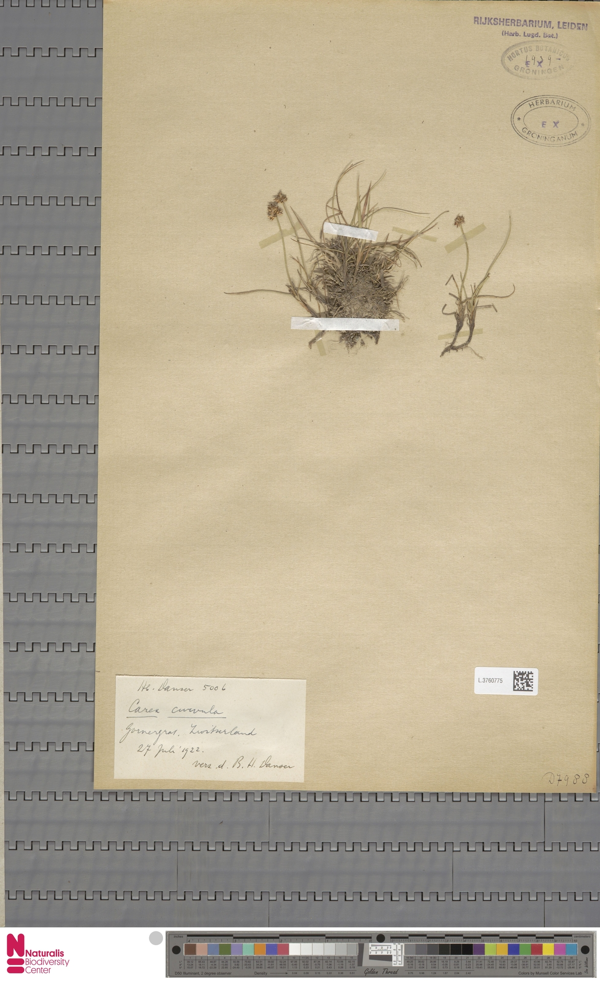 L.3760775 | Carex curvula All.