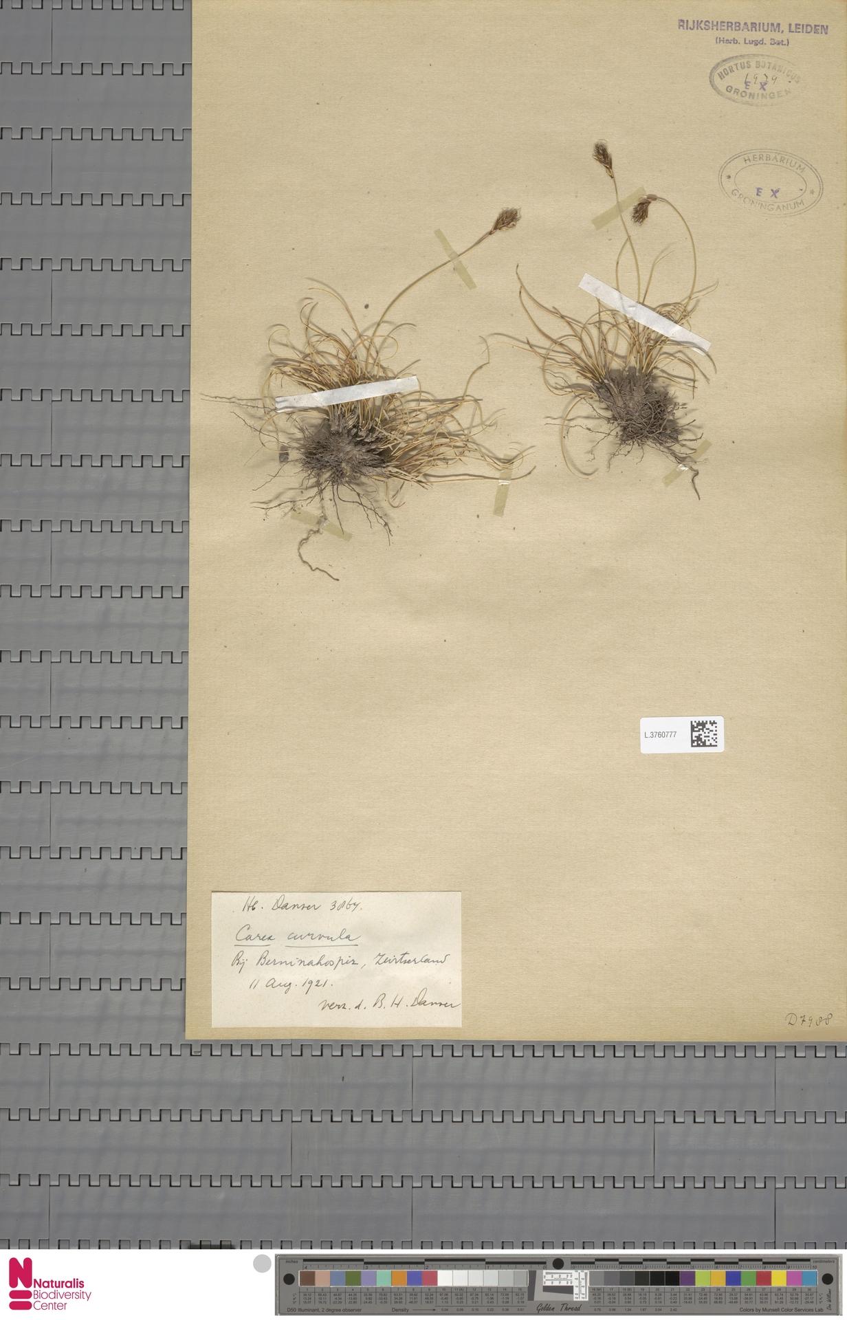 L.3760777 | Carex curvula All.