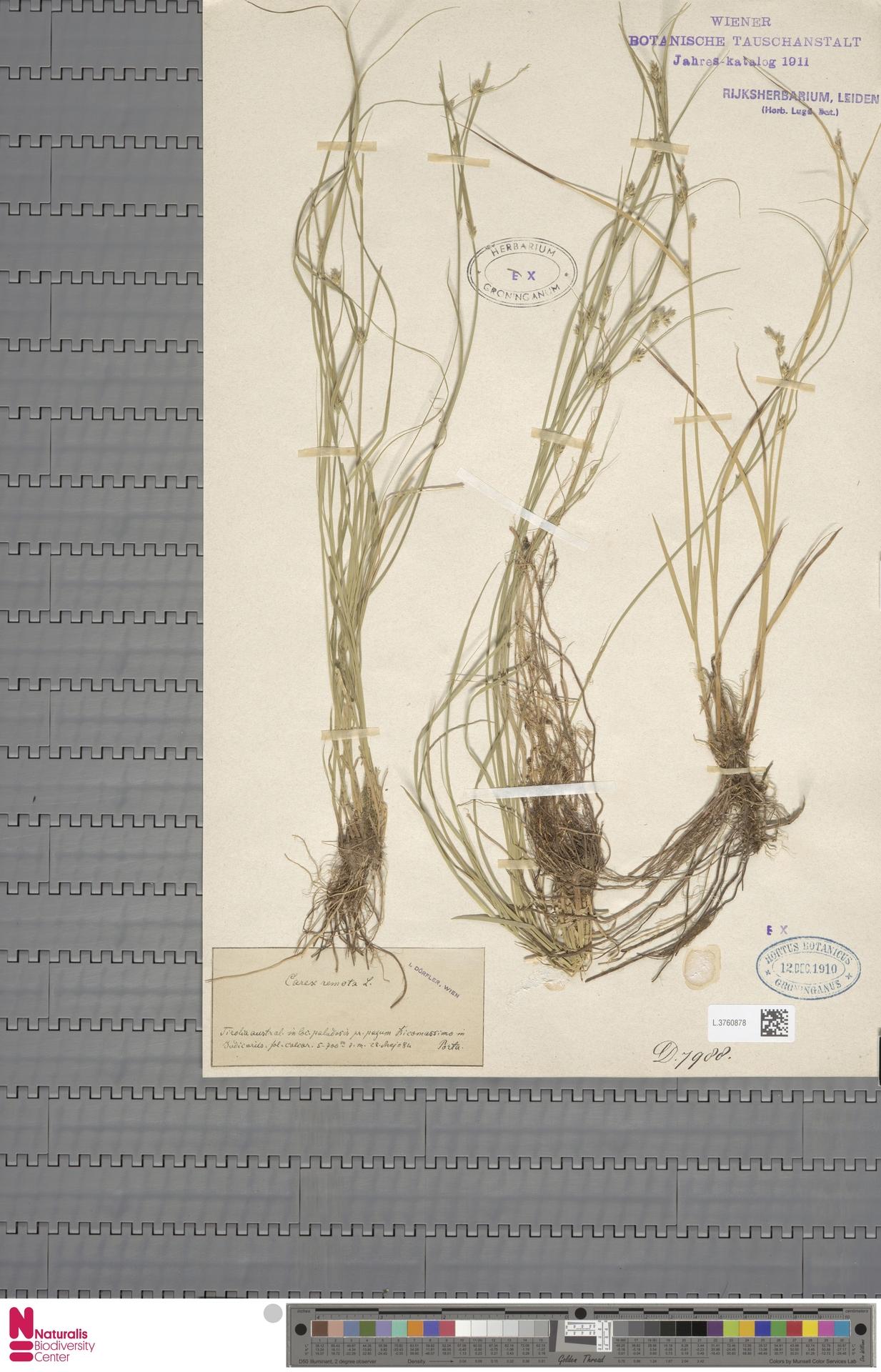 L.3760878 | Carex remota L.