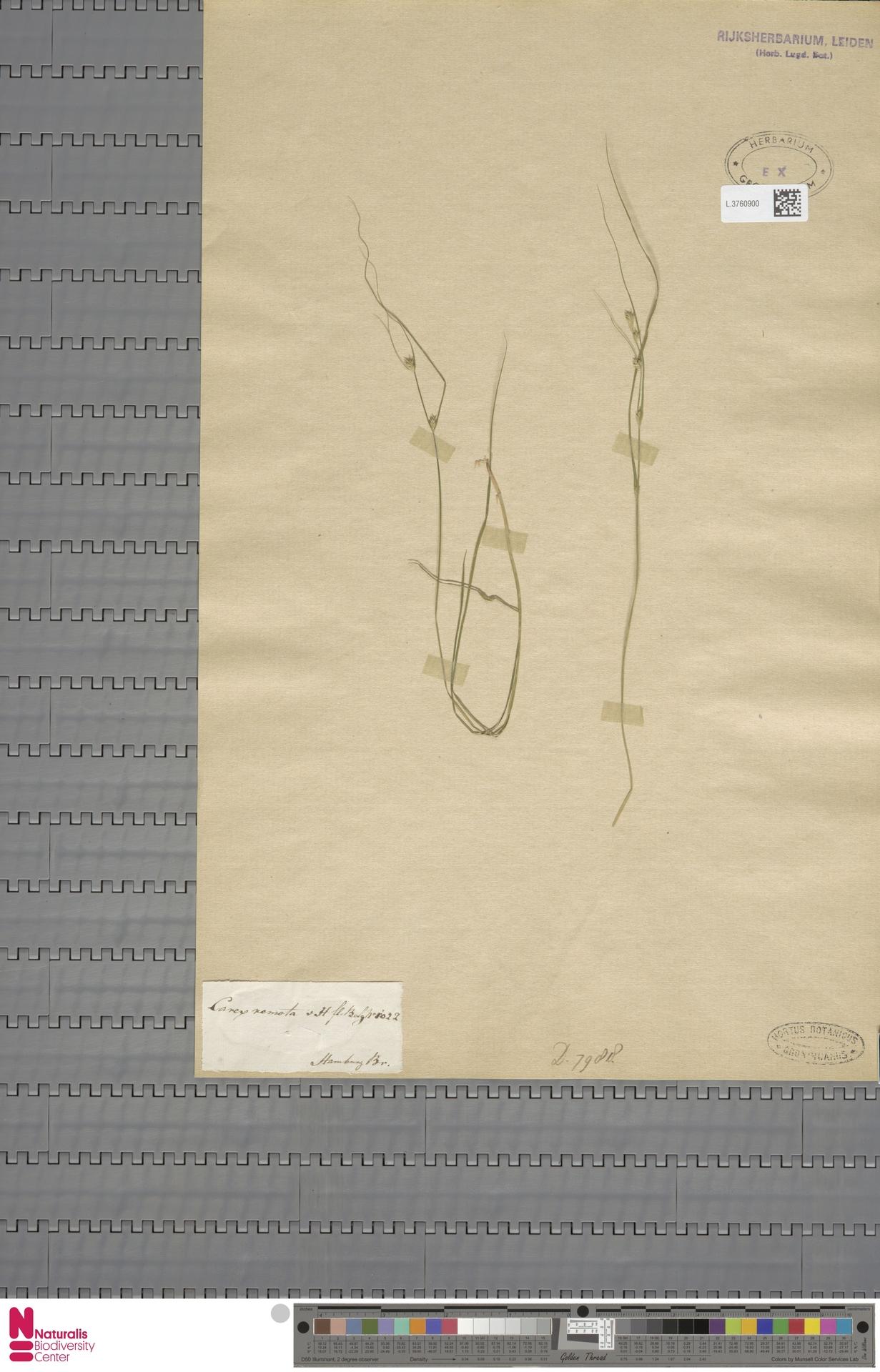 L.3760900 | Carex remota L.