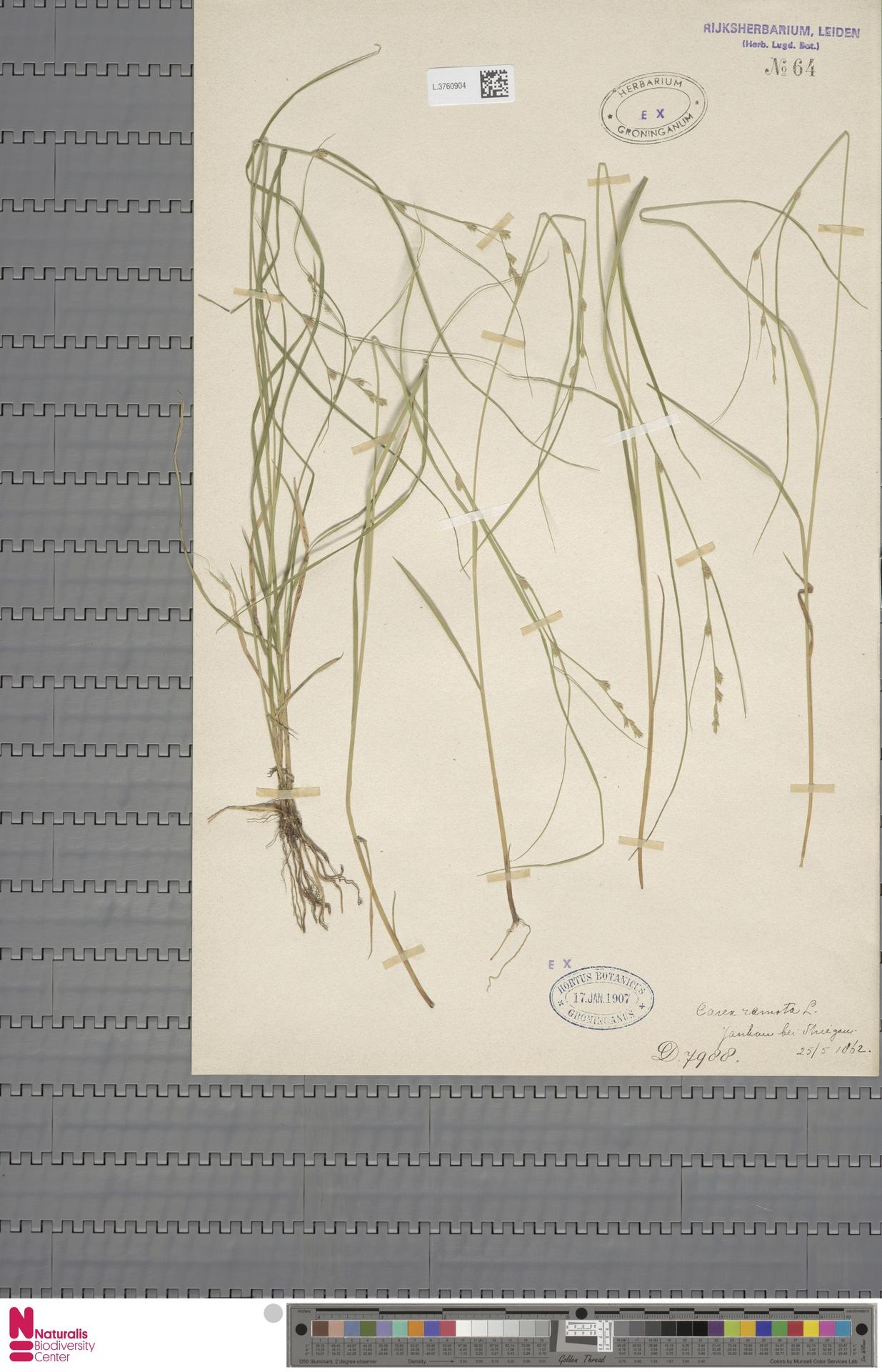 L.3760904 | Carex remota L.