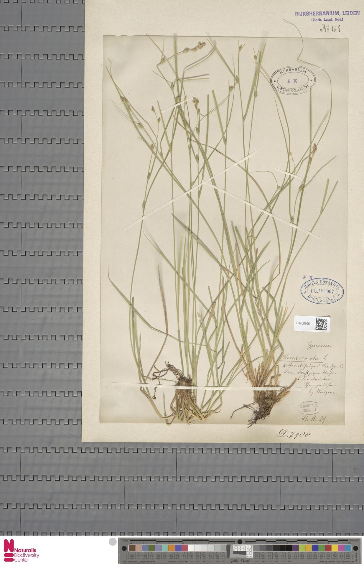 L.3760906 | Carex remota L.