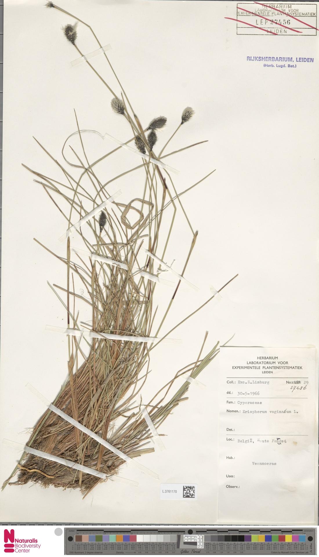 L.3761170 | Eriophorum vaginatum L.