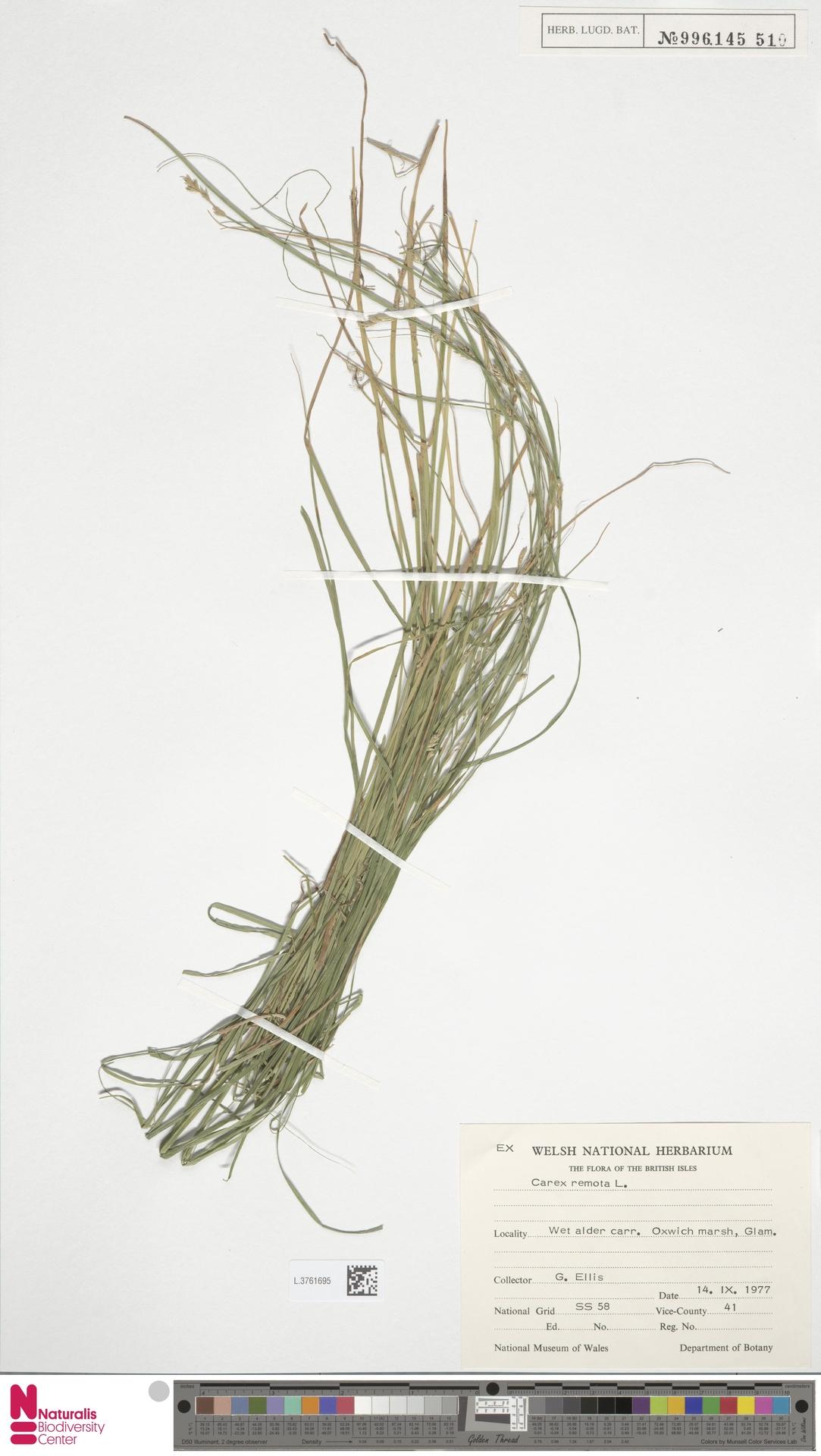 L.3761695 | Carex remota L.