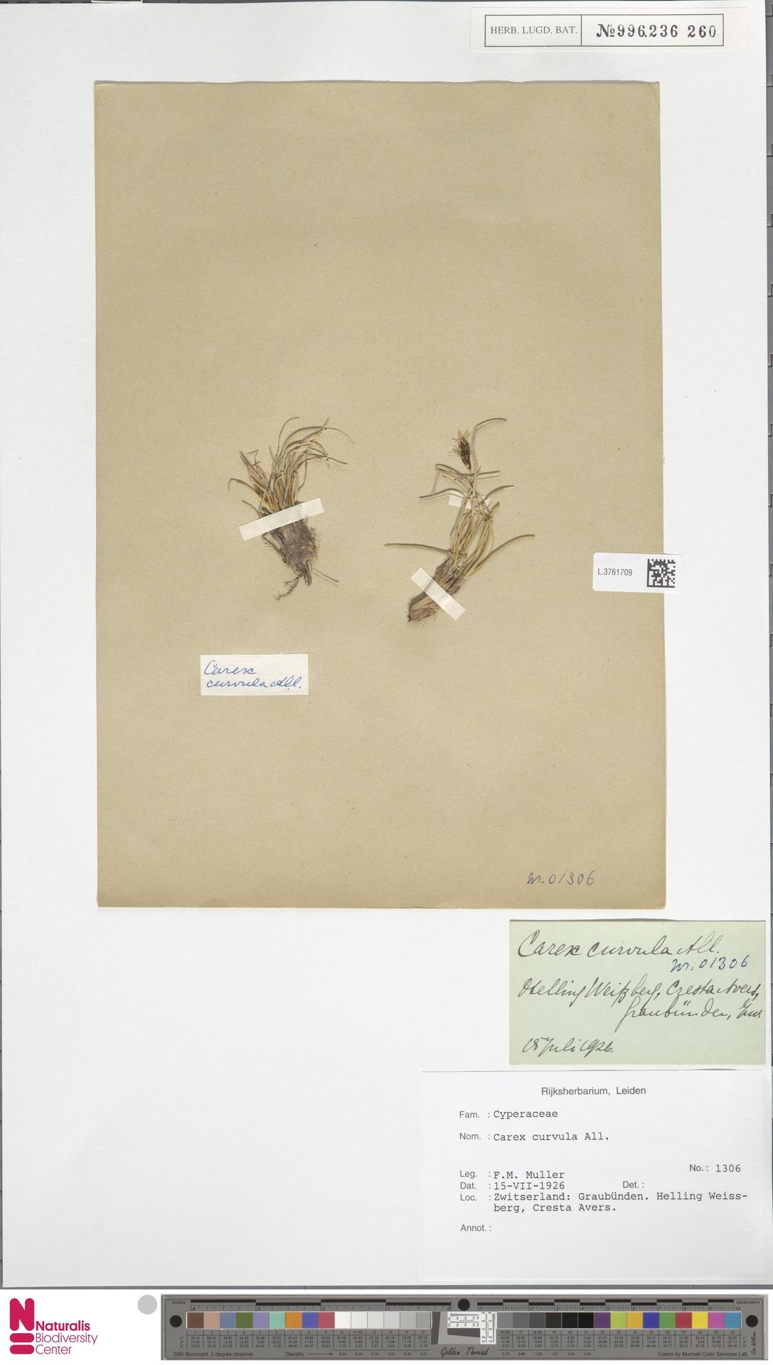 L.3761709   Carex curvula All.