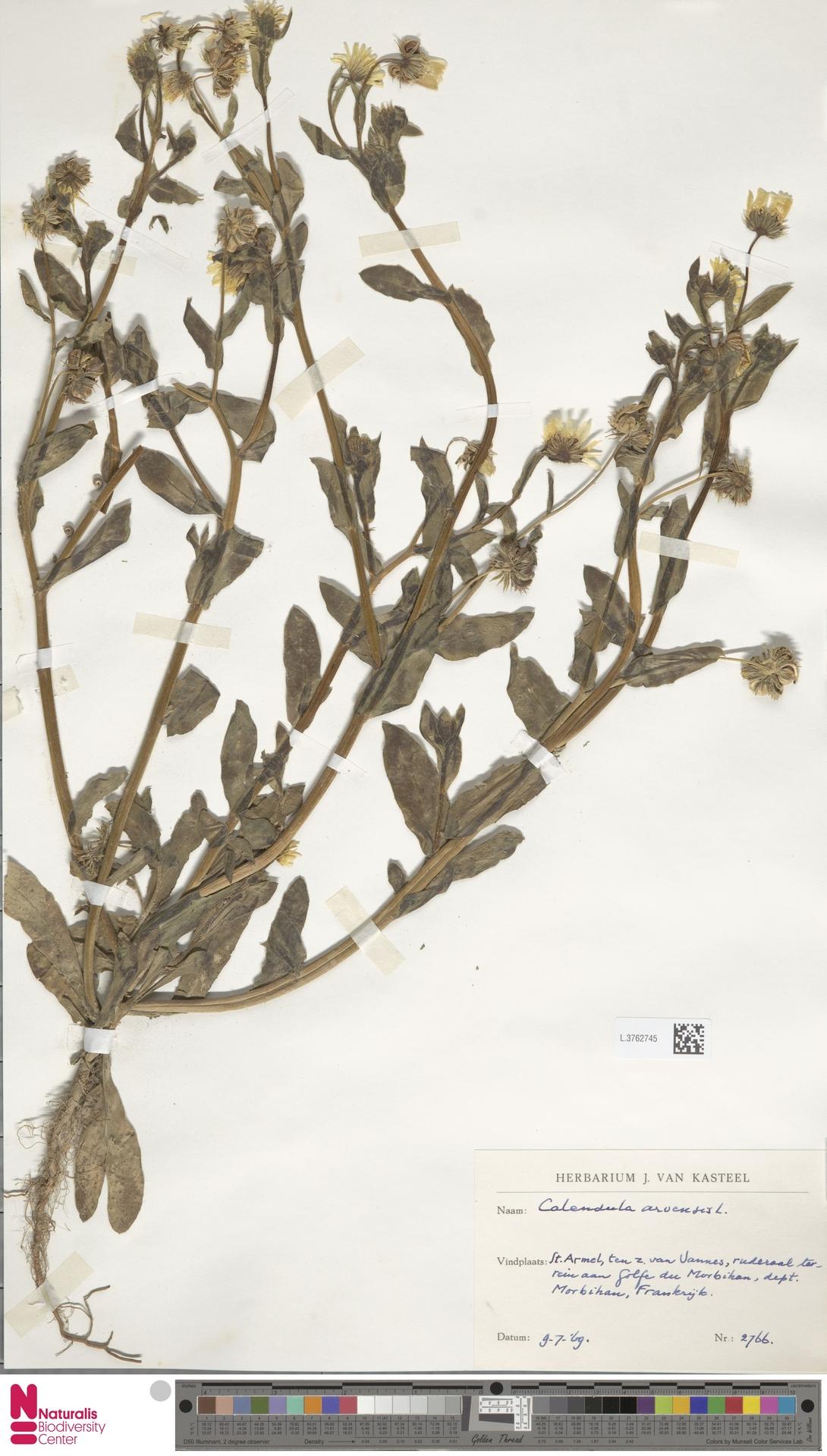 L.3762745 | Calendula arvensis (Vaill.) L.