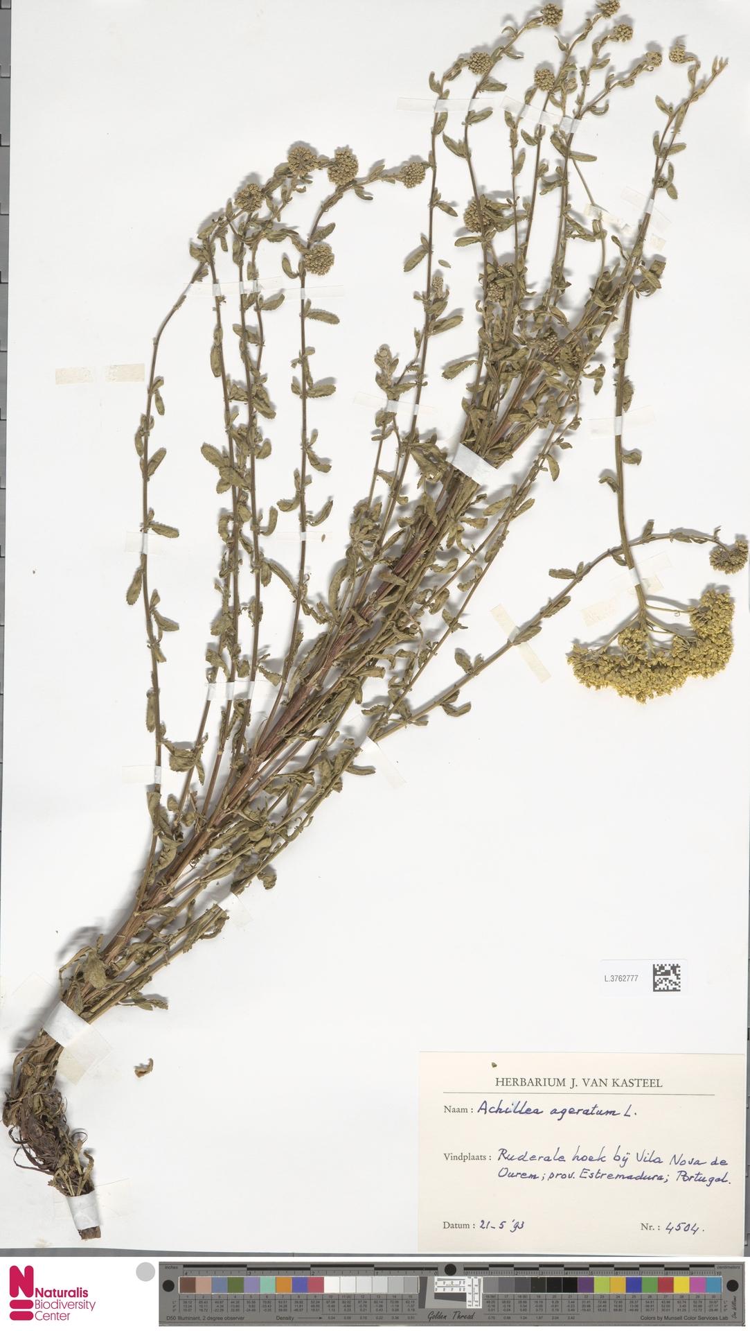 L.3762777 | Achillea ageratum L.