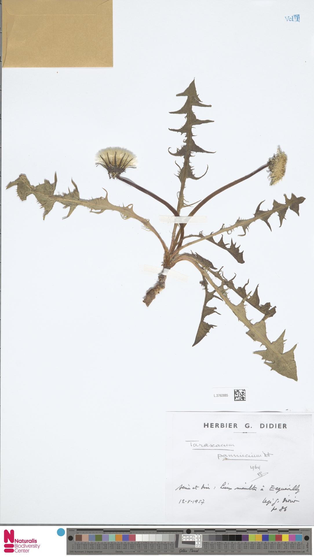 L.3762885 | Taraxacum pannucium Dahlst.