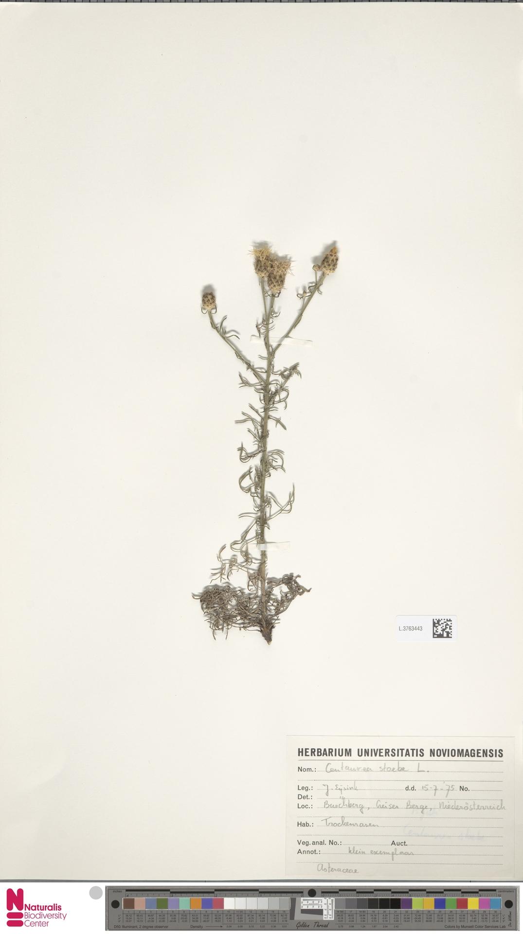L.3763443 | Centaurea stoebe L.