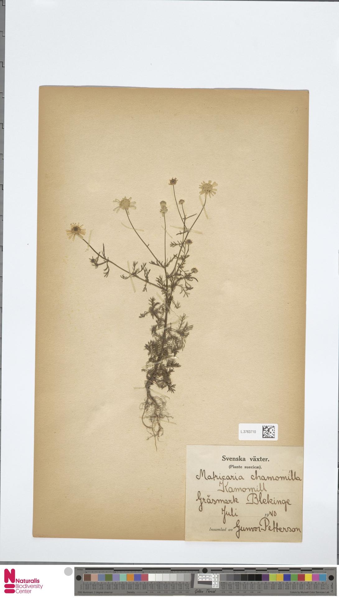 L.3763710 | Matricaria chamomilla L.