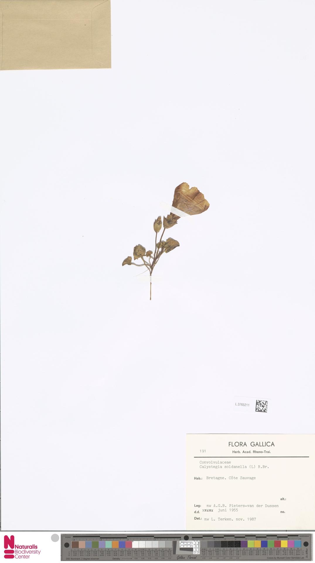 L.3765211 | Calystegia soldanella (L.) R.Br.