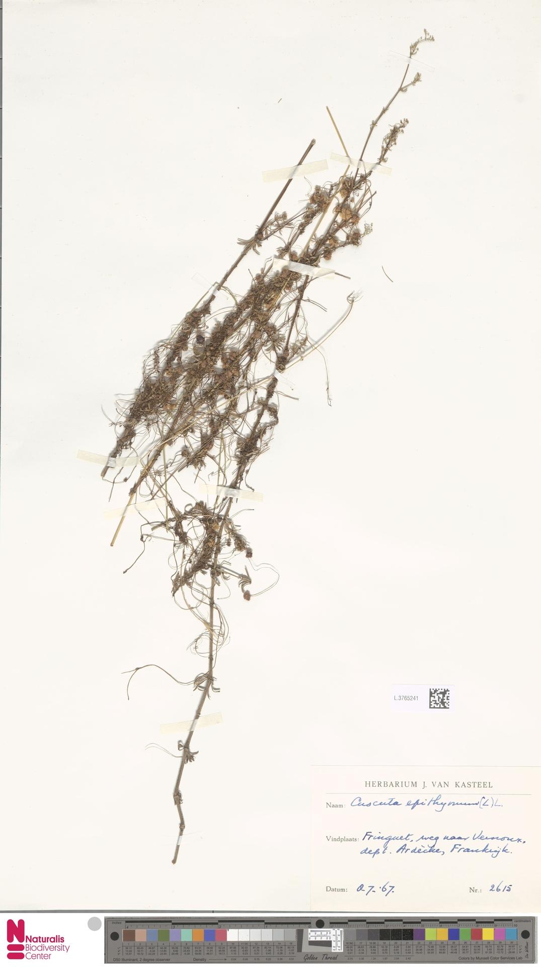 L.3765241 | Cuscuta epithymum (L.) L.