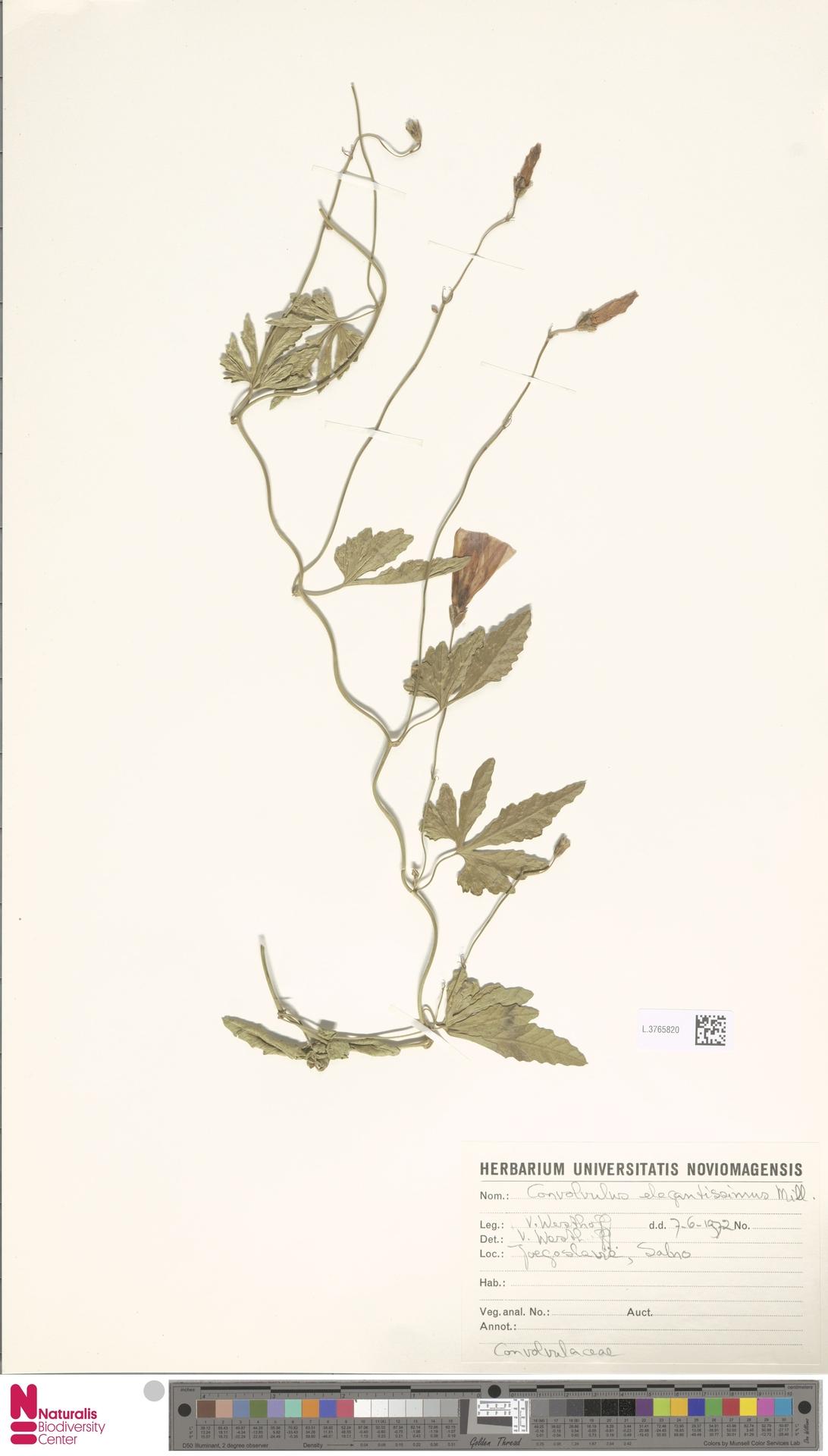 L.3765820 | Convolvulus elegantissimus Mill.