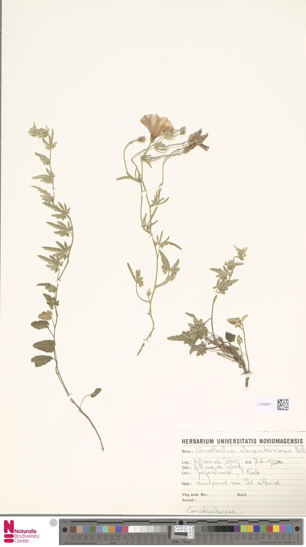 L.3765821 | Convolvulus elegantissimus Mill.