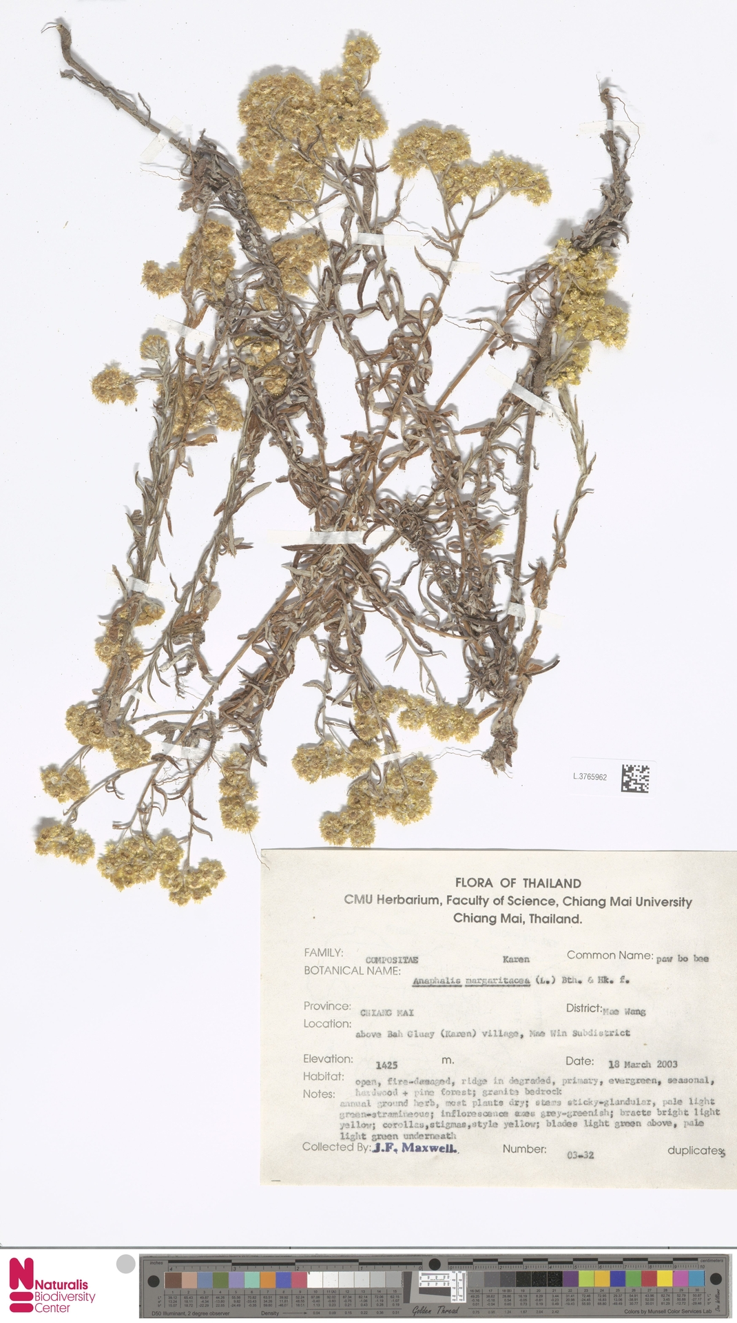 L.3765962 | Anaphalis margaritacea (L.) Benth. & Hook.f.