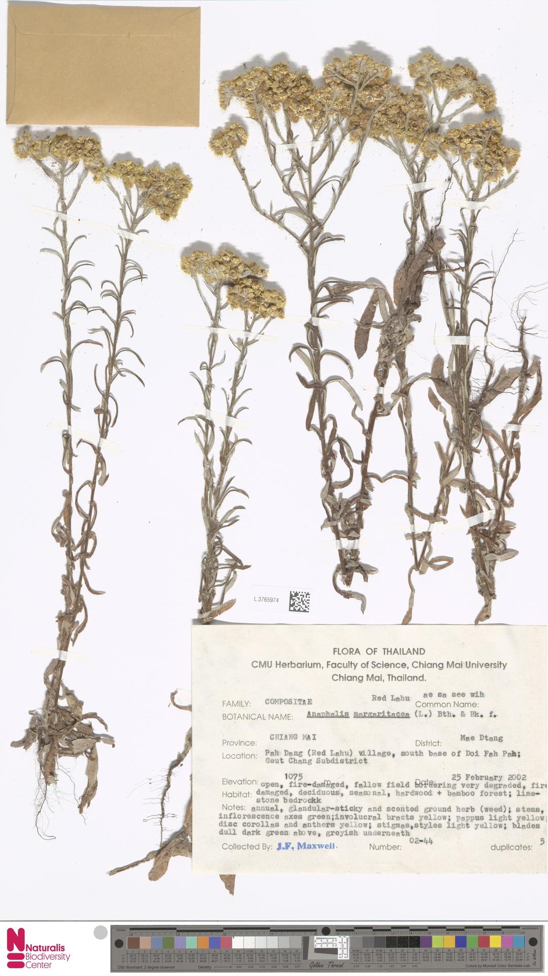 L.3765974 | Anaphalis margaritacea (L.) Benth. & Hook.f.