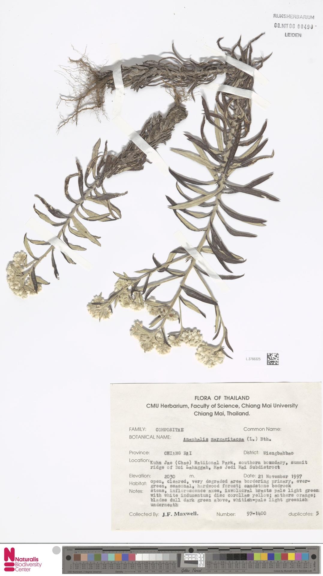 L.3766325 | Anaphalis margaritacea (L.) Benth. & Hook.f.