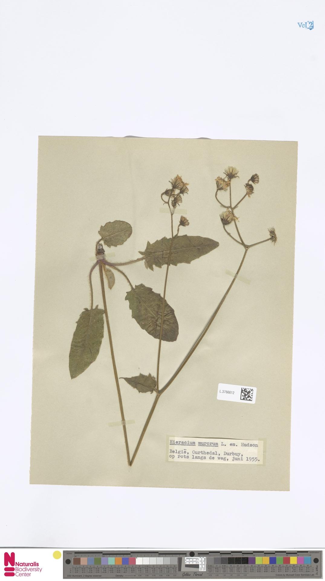 L.3766612 | Hieracium murorum L.