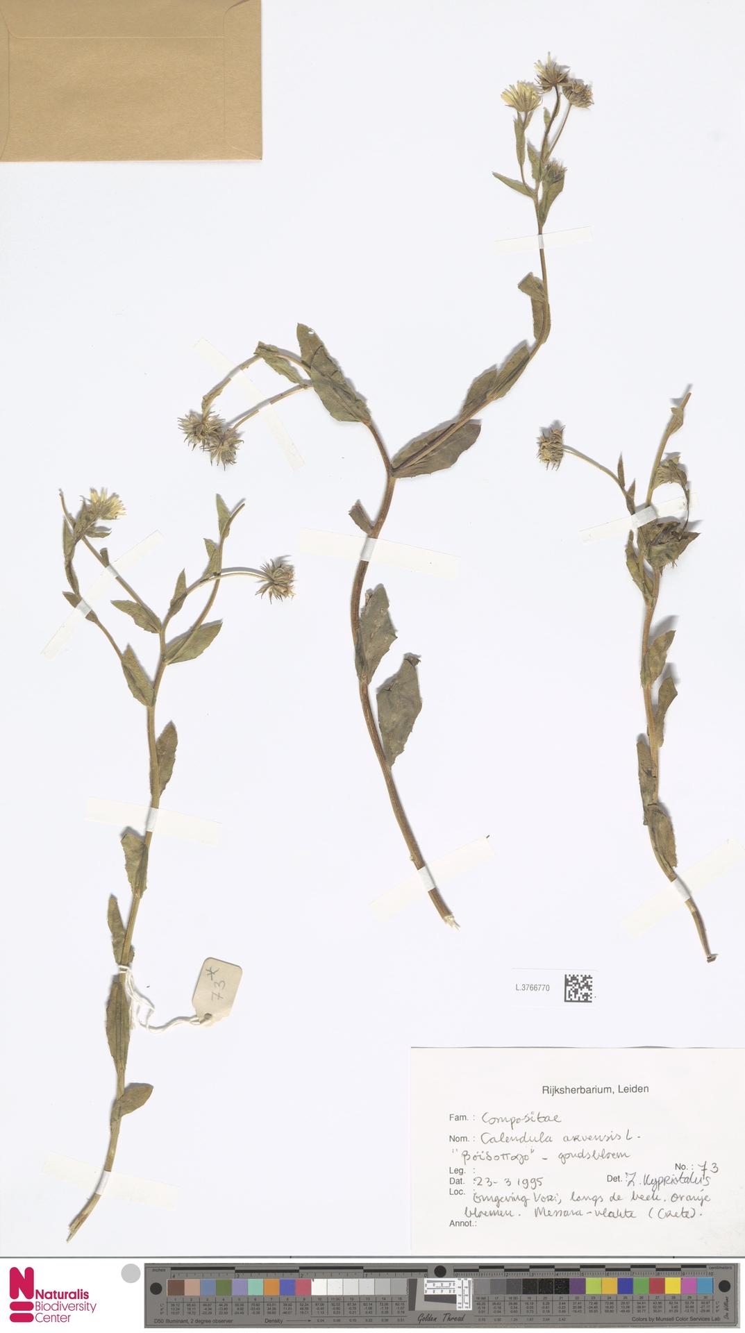 L.3766770 | Calendula arvensis (Vaill.) L.