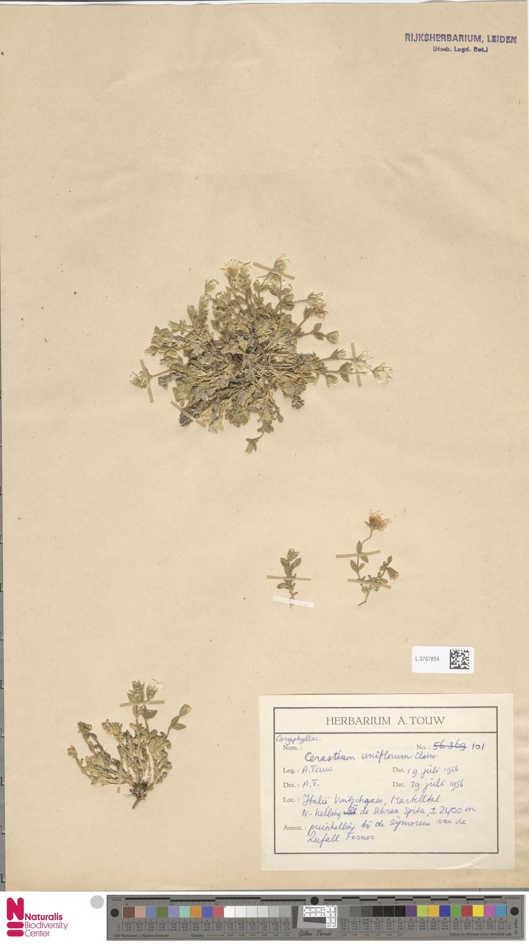 L.3767854 | Cerastium uniflorum Clairv.