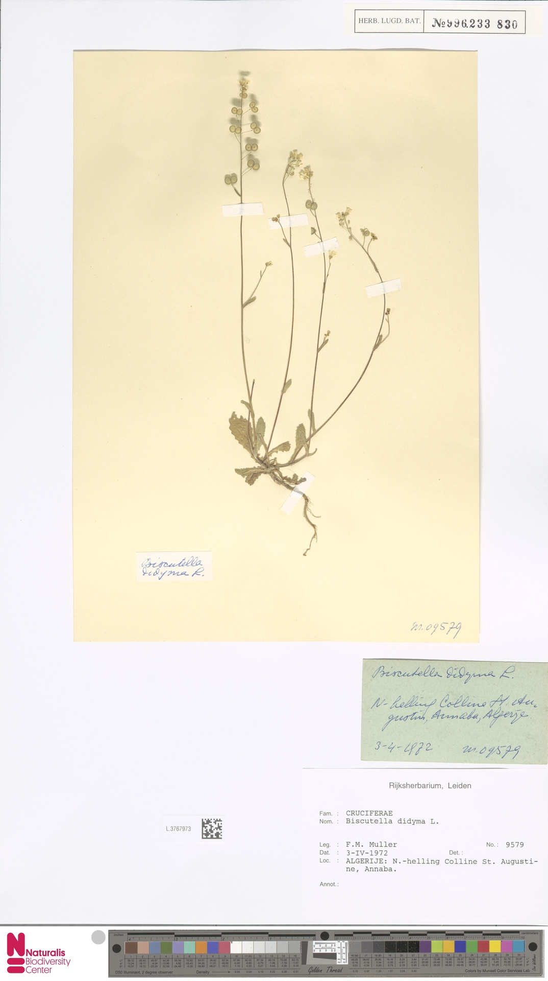 L.3767973 | Biscutella didyma L.
