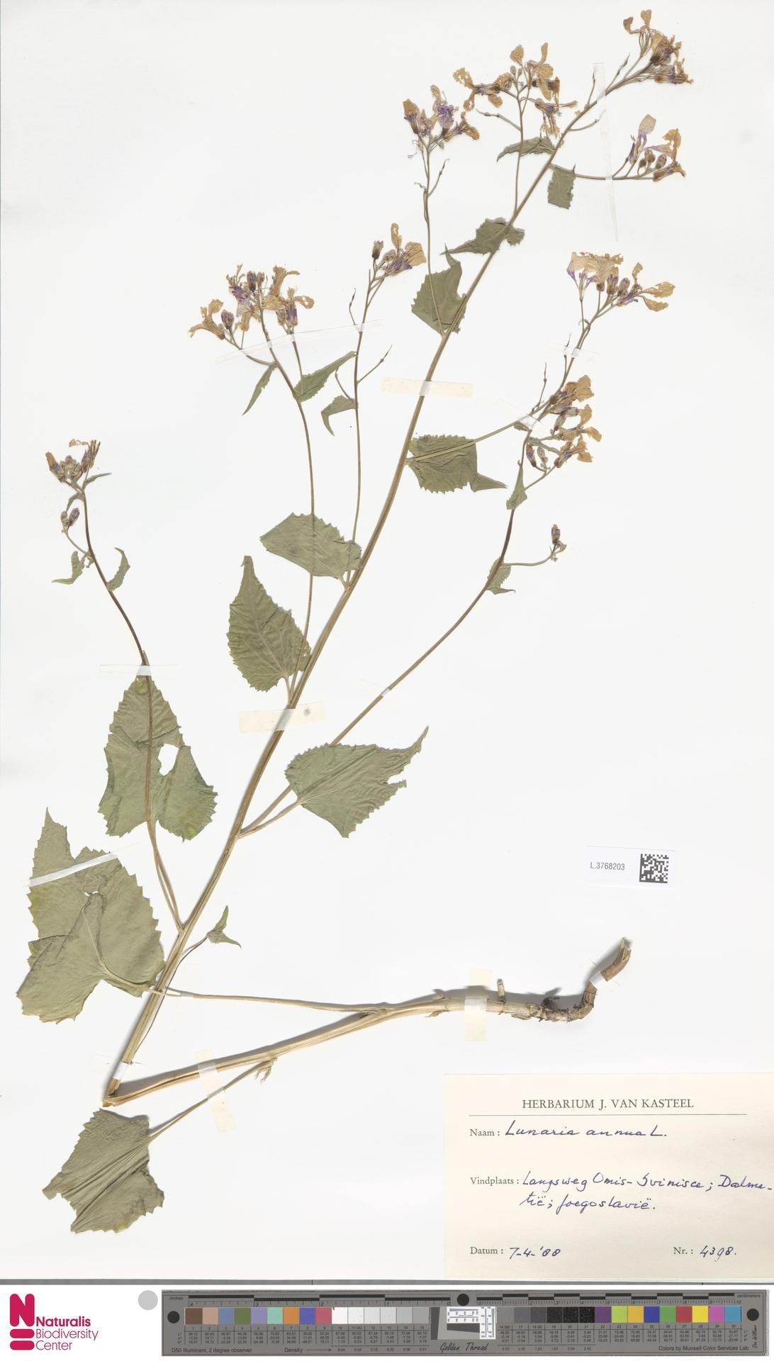 L.3768203 | Lunaria annua L.