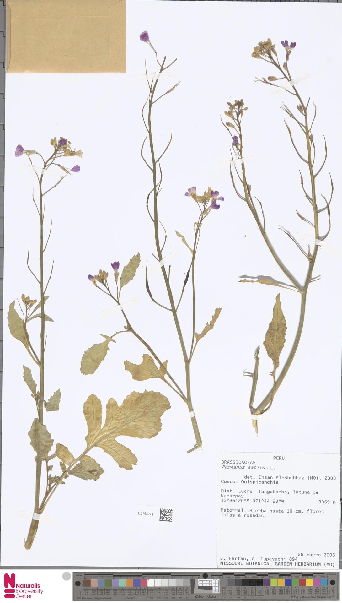 L.3768274 | Raphanus sativus L.