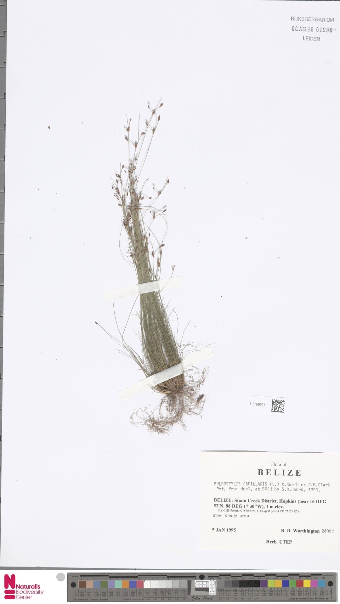 L.3769901 | Bulbostylis capillaris (L.) Kunth ex C.B.Clarke