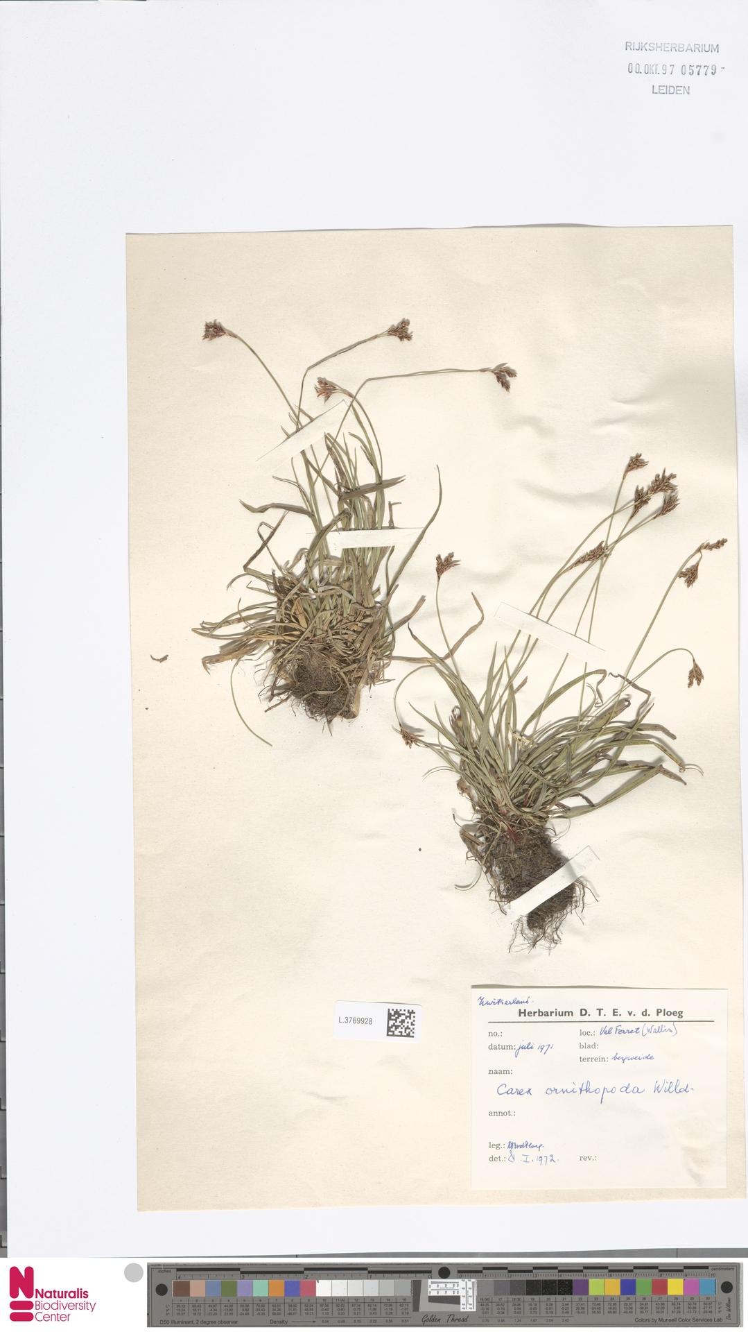 L.3769928 | Carex ornithopoda Willd.