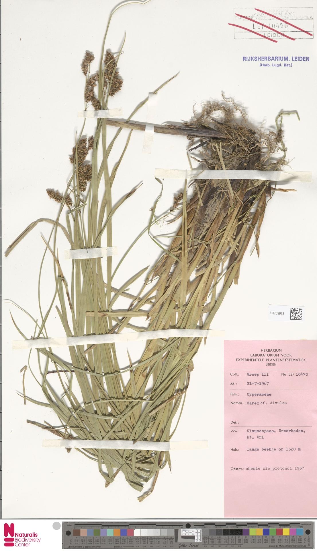 L.3769983 | Carex divulsa Stokes