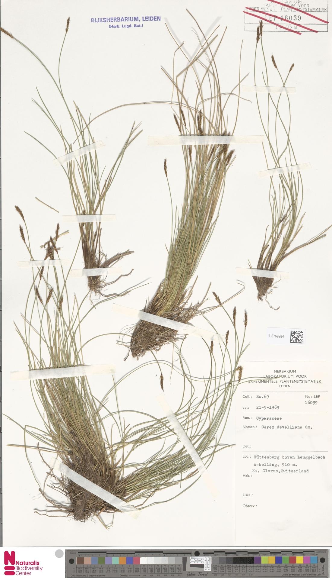 L.3769984   Carex davalliana Sm.