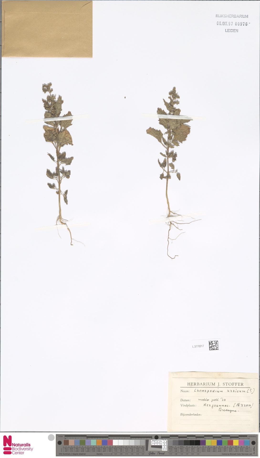 L.3770217 | Chenopodium urbicum L.
