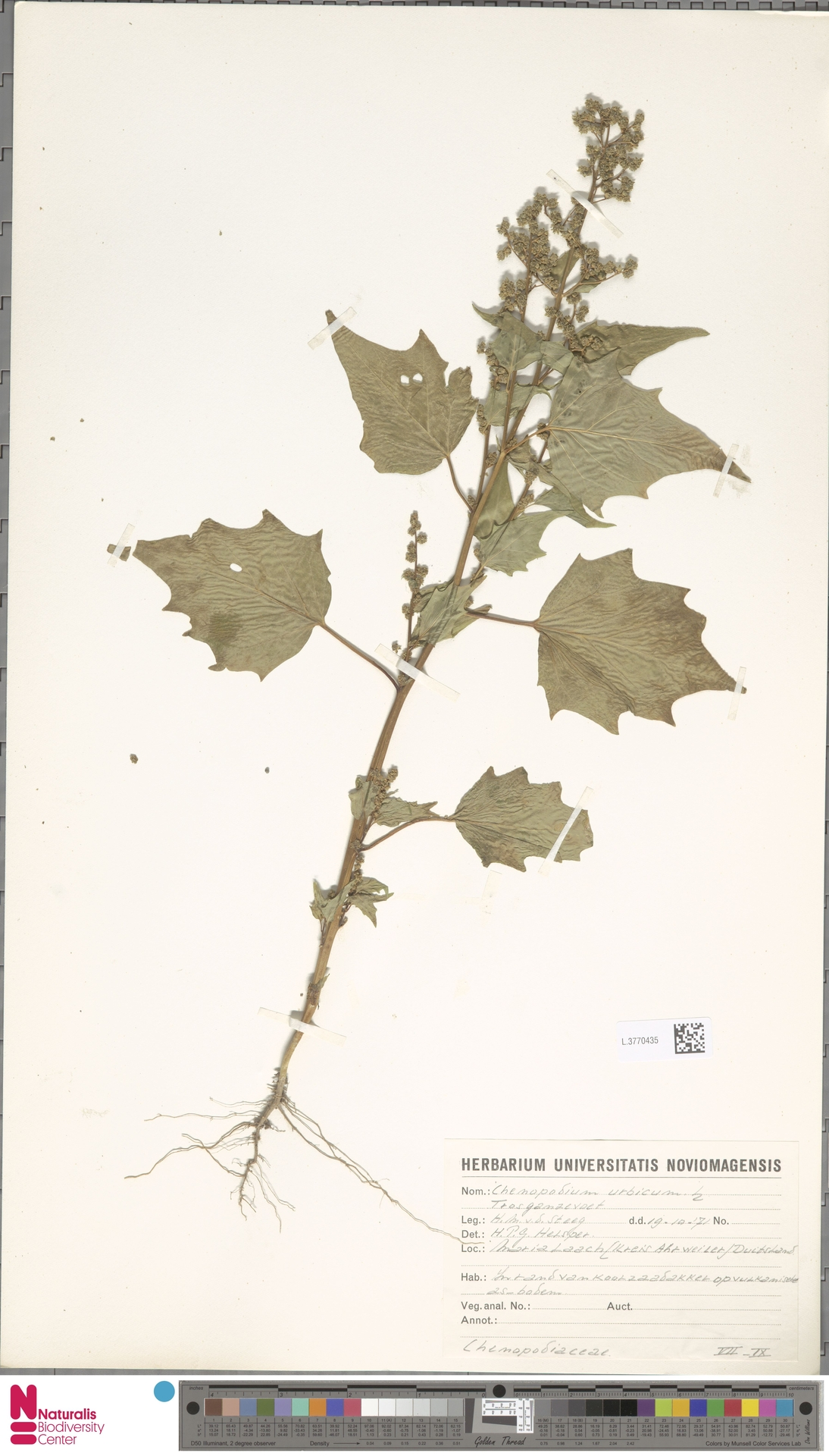 L.3770435 | Chenopodium urbicum L.