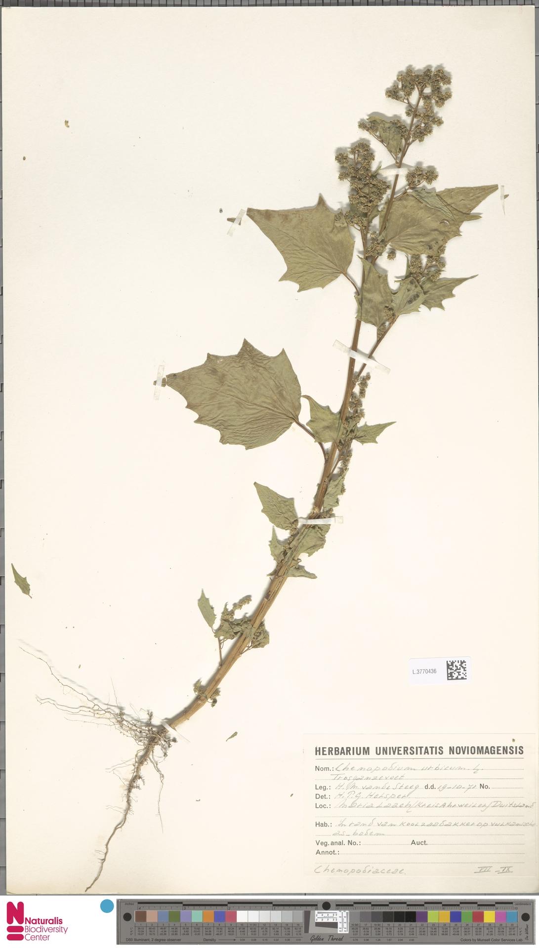 L.3770436   Chenopodium urbicum L.