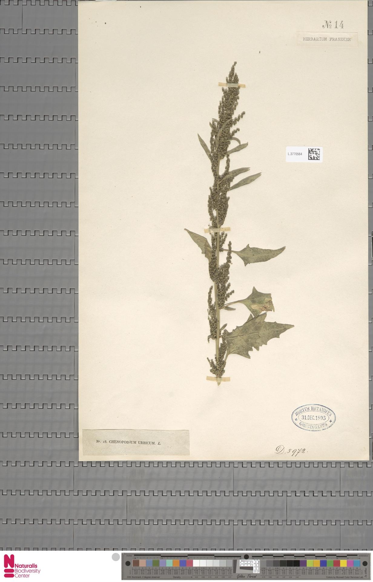 L.3770564 | Chenopodium urbicum L.