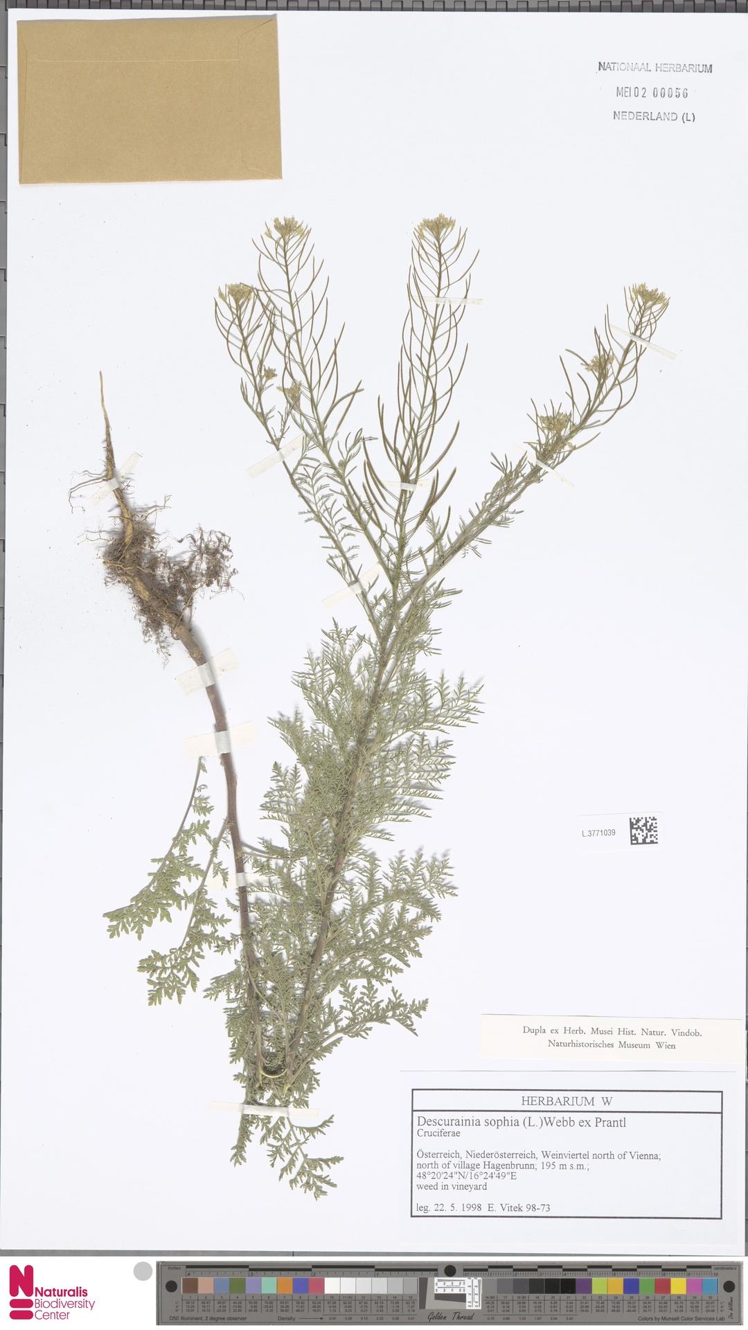L.3771039 | Descurainia sophia (L.) Webb ex Prantl