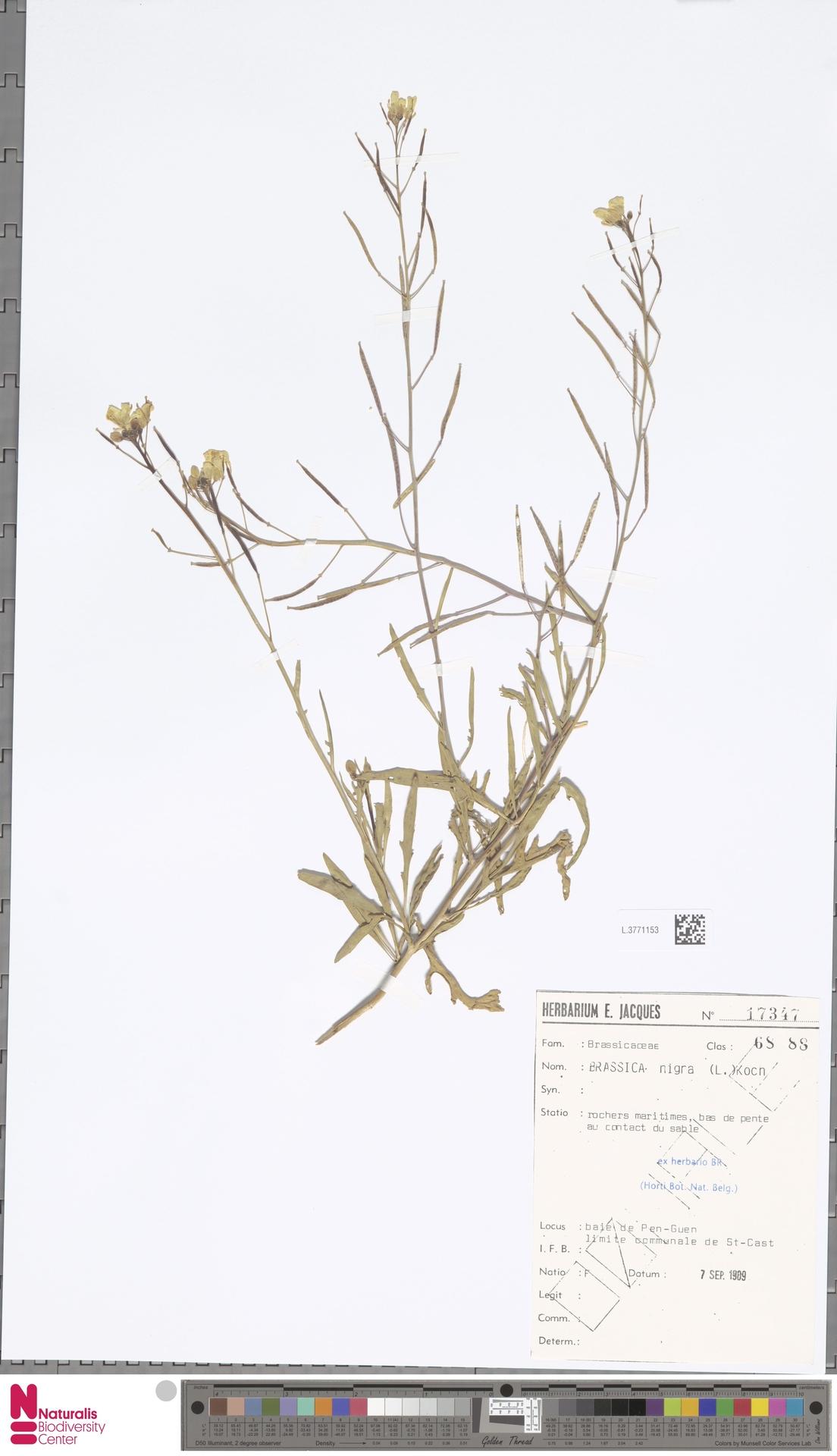 L.3771153 | Brassica nigra (L.) W.D.J.Koch