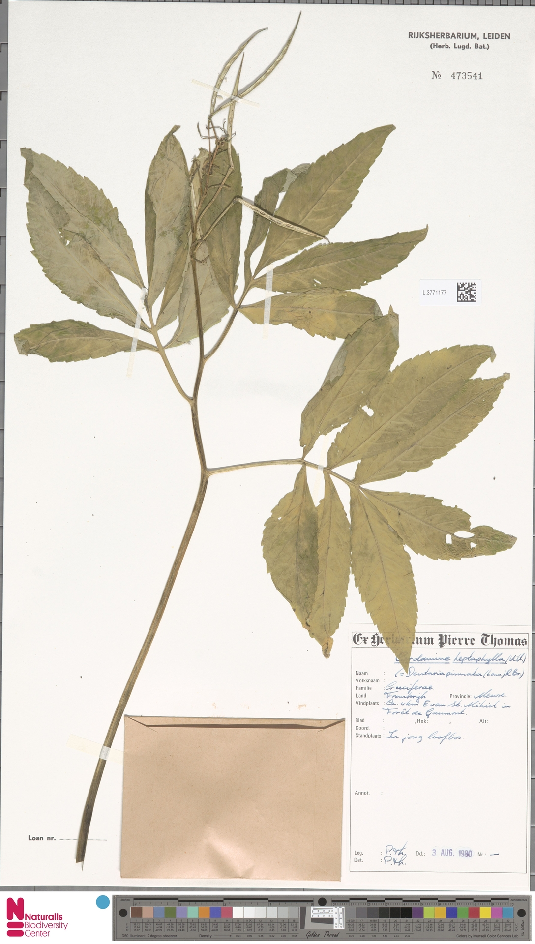L.3771177 | Cardamine heptaphylla (Vill.) O.E.Schulz