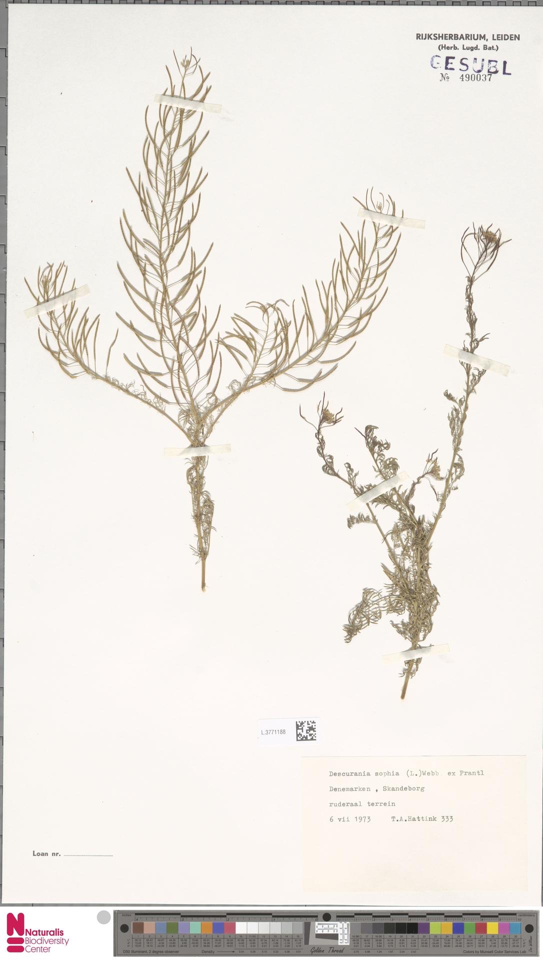 L.3771188 | Descurainia sophia (L.) Webb ex Prantl