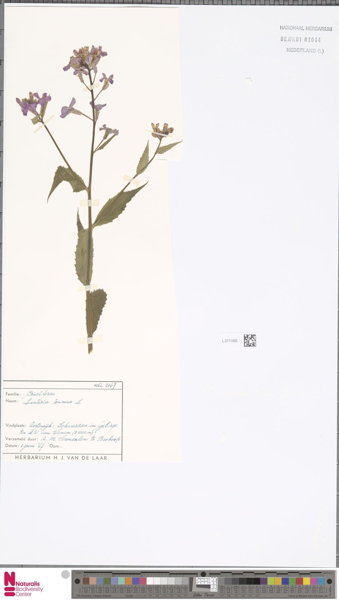 L.3771435 | Lunaria annua L.