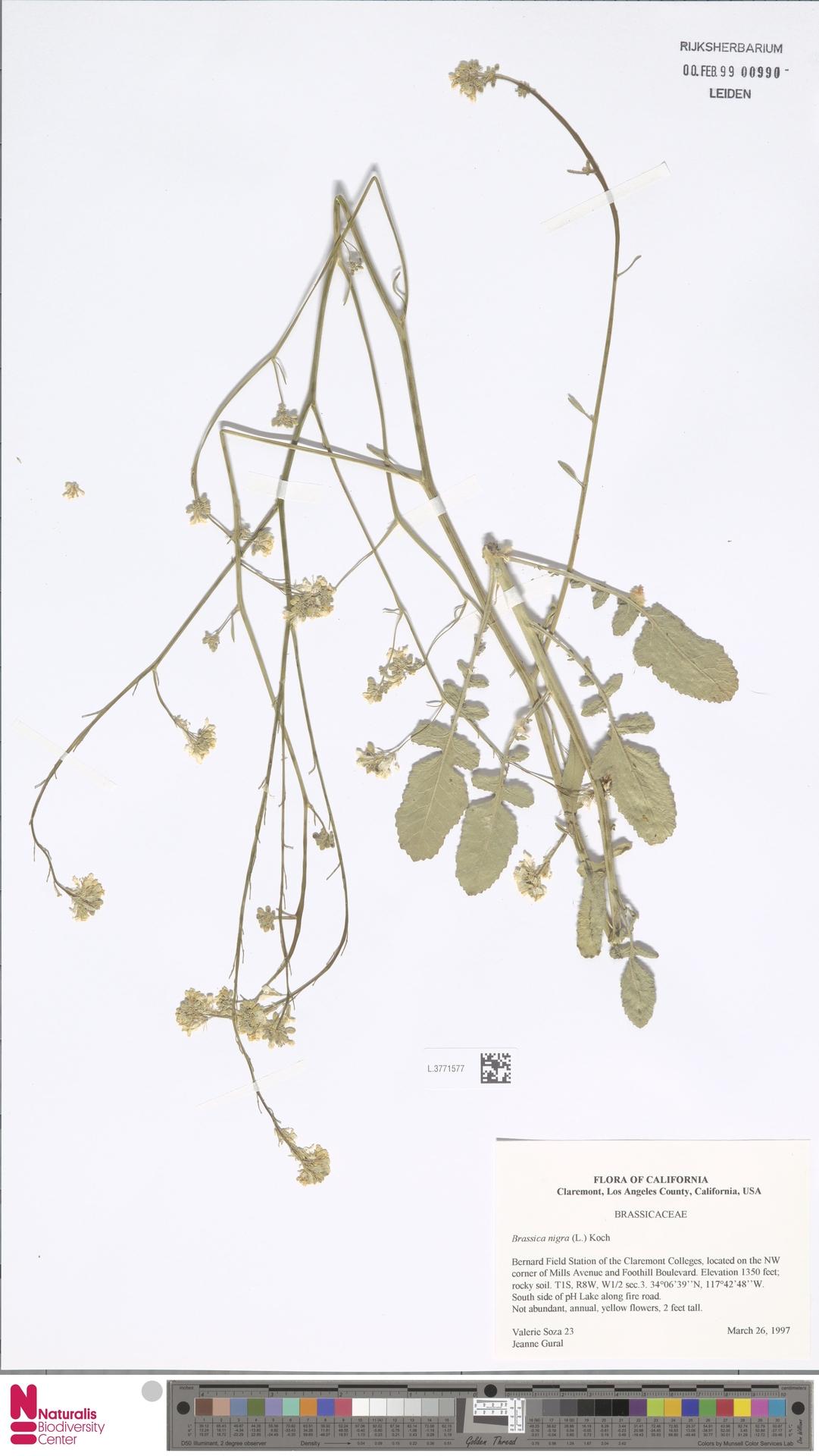 L.3771577   Brassica nigra (L.) W.D.J.Koch