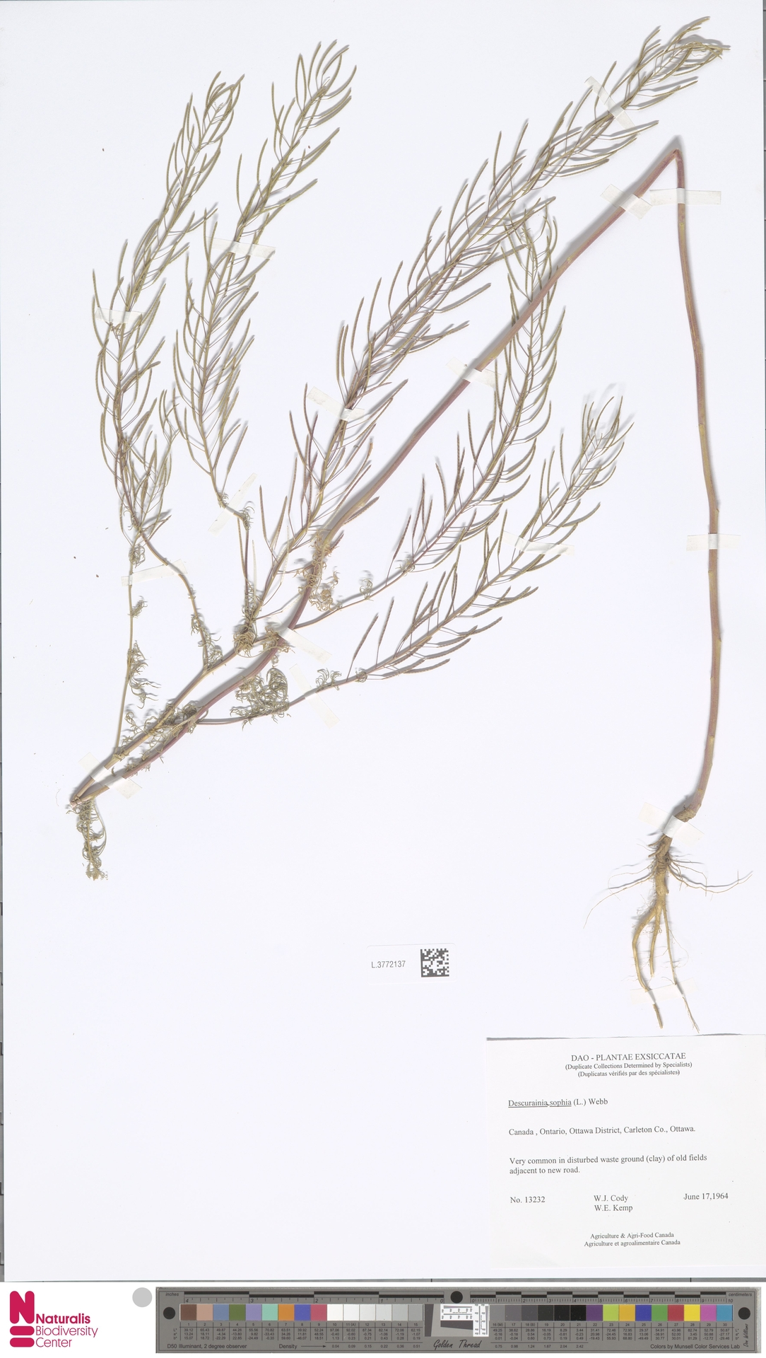 L.3772137 | Descurainia sophia (L.) Webb ex Prantl